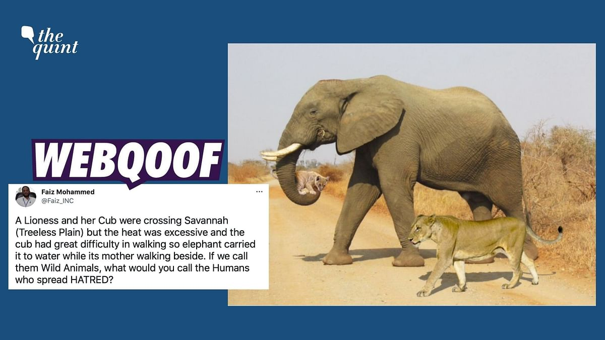 """<div class=""""paragraphs""""><p>A morphed image of an elephant carrying a cub and walking along with a lioness is being shared with a false narrative.</p></div>"""
