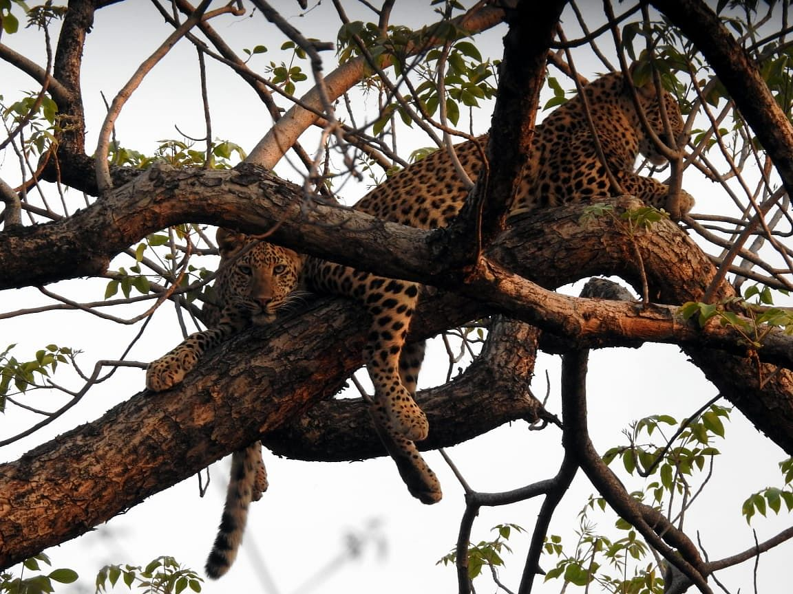 """<div class=""""paragraphs""""><p>Leopard spotted in the Dumna Forest.</p></div>"""