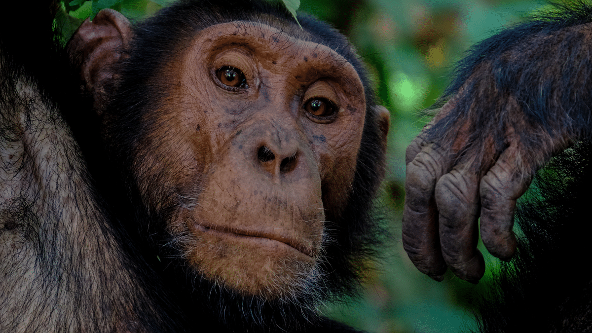 """<div class=""""paragraphs""""><p>Representational image. Adie Timmermans was banned from an Antwerp zoo for having an affair with a chimpanzee.</p></div>"""