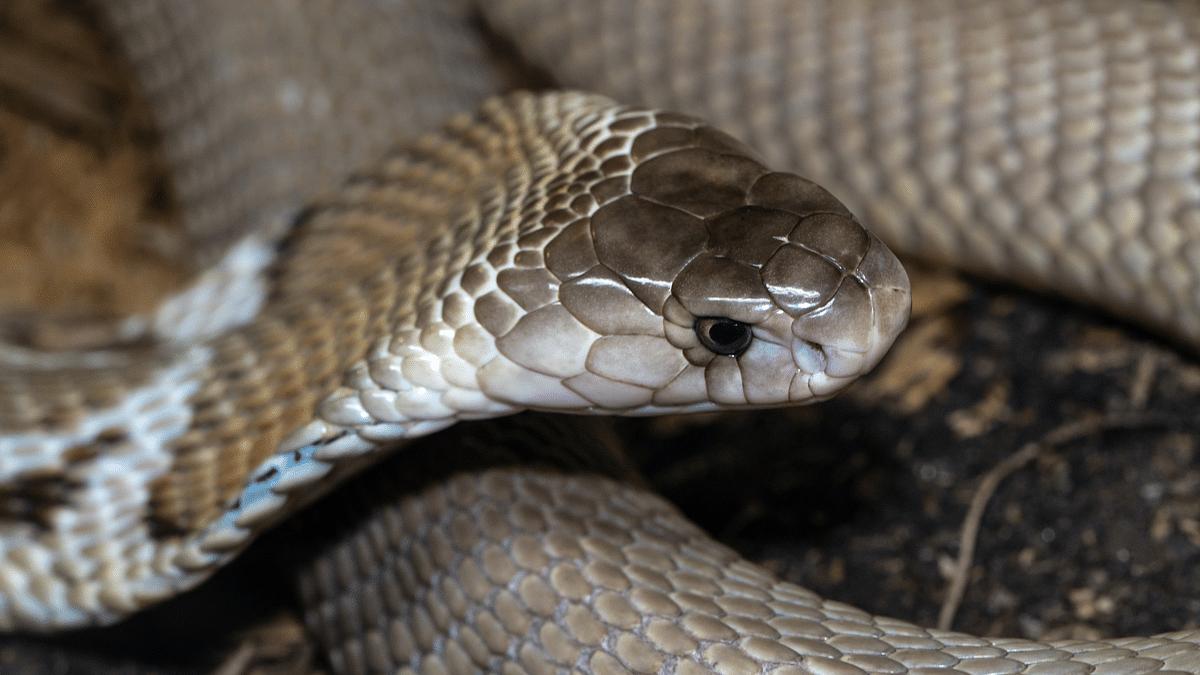 Cobra Bites Chef 20 Minutes After Its Head Is Cut Off, Kills Him