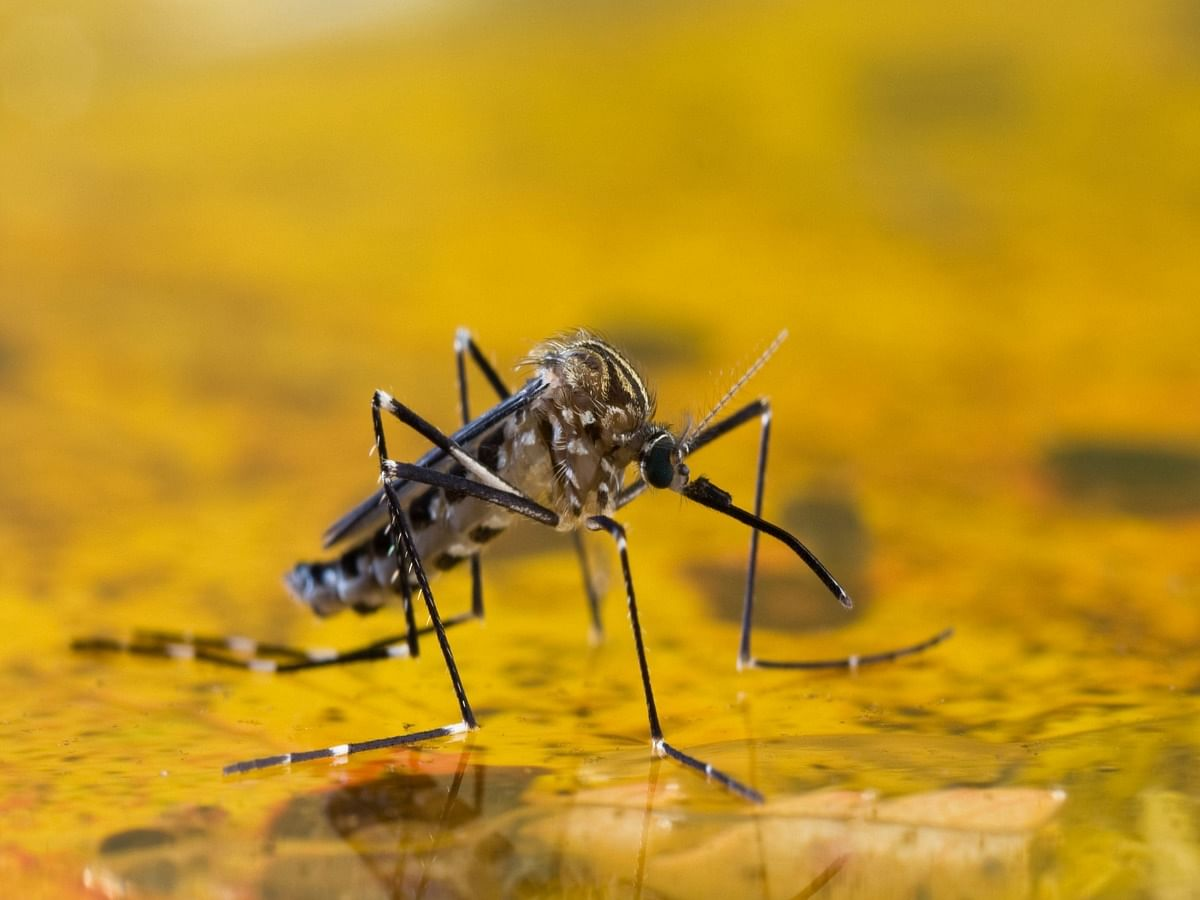 World Mosquito Day, 2021: Here's Why It Is Observed