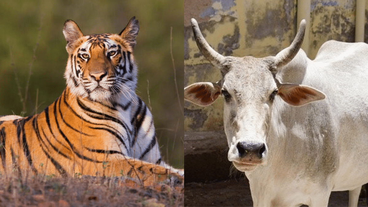 Allahabad HC Wants National Animal Tag for Cow, But Here's Why the Tiger Has It