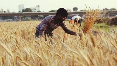 Government Raises MSP of Wheat by Rs 40; PM Welcomes Increase, Punjab CM Unhappy