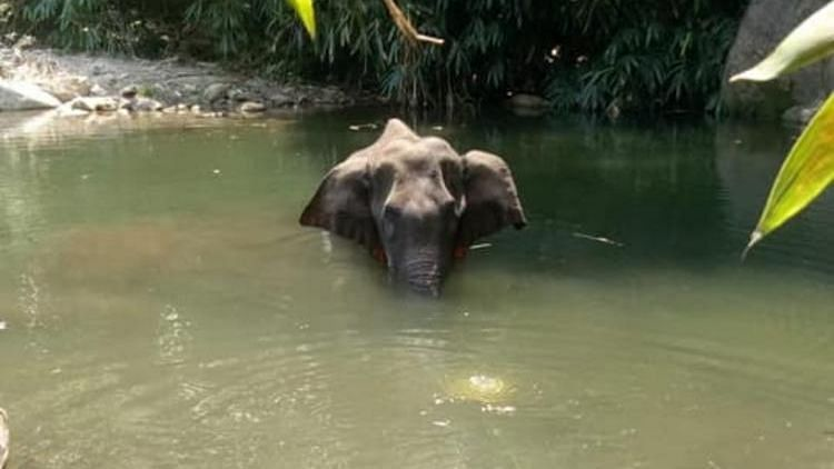 """<div class=""""paragraphs""""><p>The 15-year-old pregnant elephant ate a pineapple stuffed with firecrackers in mid May 2020.</p></div>"""