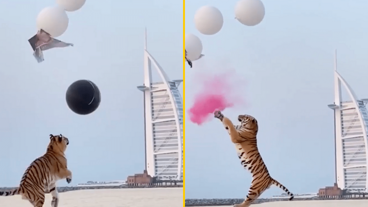 'Ridiculous': Gender Reveal in Dubai Using Real Tiger Sparks Outrage Online