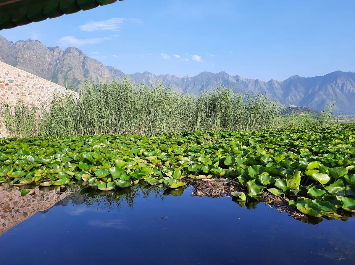 """<div class=""""paragraphs""""><p>Weed growthon the water of Dal Lake</p></div>"""