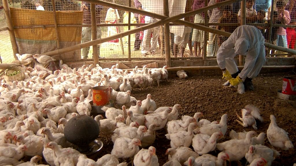A health worker is seen giving 'medicine' to the chickens at a poultry farm.