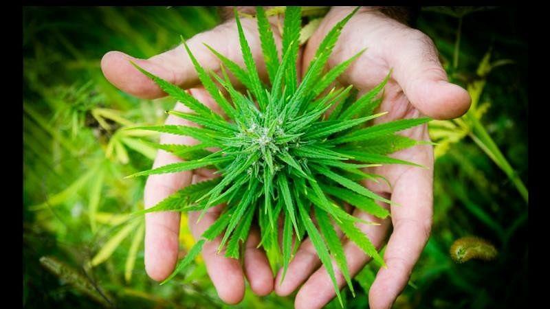 Marijuana Can Be Effective in Treating Pain, Insomnia: Study