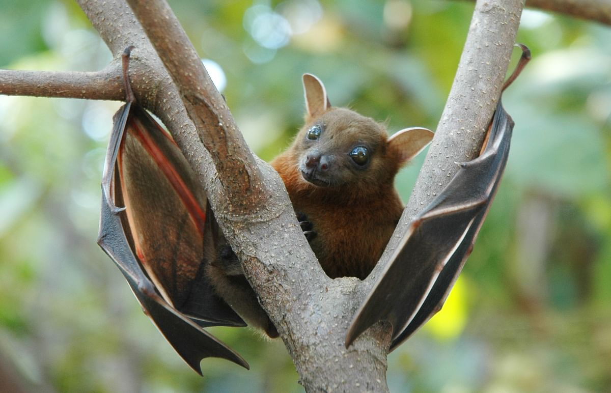 Fruit bats are common carriers of Nipah virus.