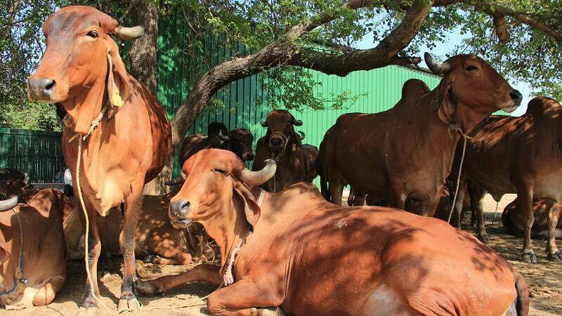 Desi Gir cows at an organic farm in Noida