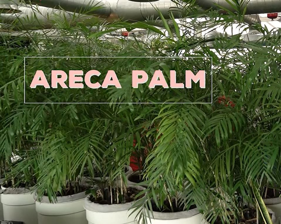 Areca Palm plant.
