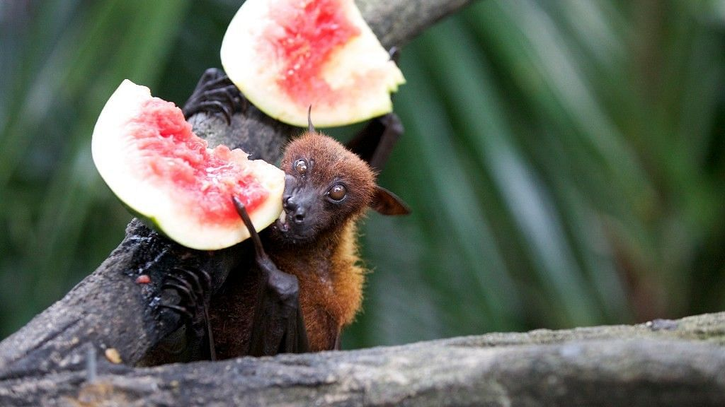 Egyptian fruit bats are known to be present in West and South Africa, Pakistan and even northern India.
