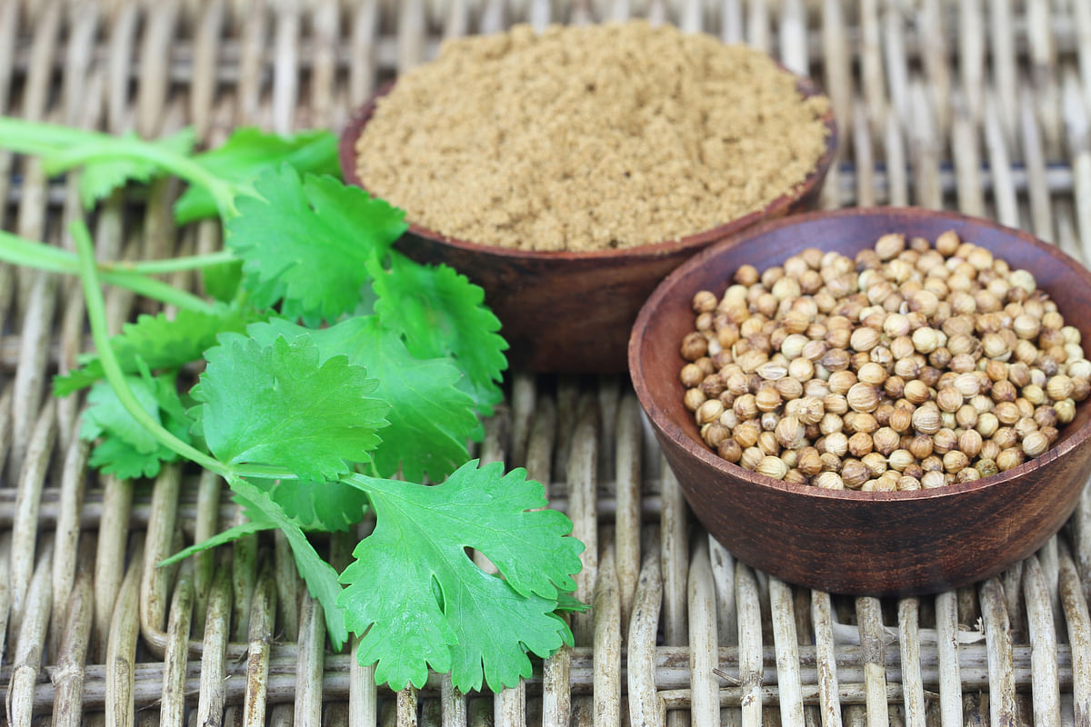 Coriander can be grown and harvested in your own home, as long as there is enough sunlight.