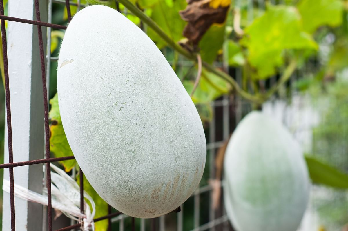 Ash Gourd is loaded with multiple vitamins and minerals