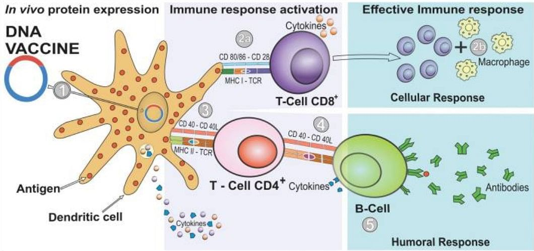 DNA vaccines work by introducing the genetic coding of the virus to the immune system to induce an immune response.