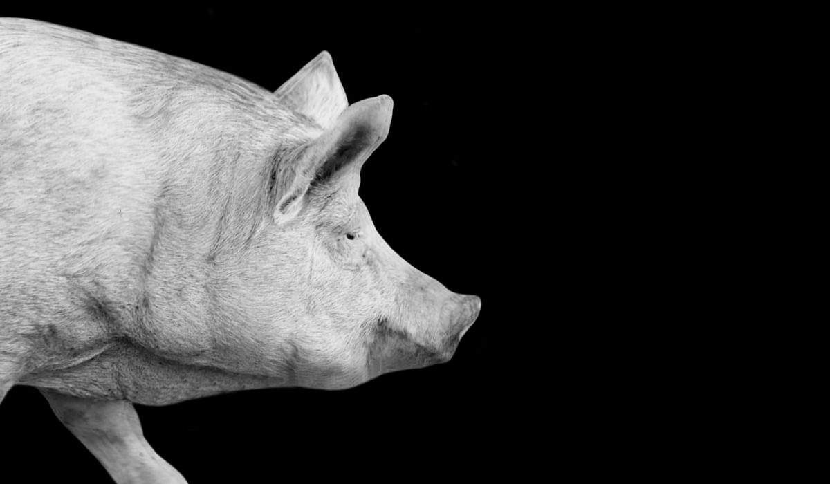 """<div class=""""paragraphs""""><p>In a first surgery of its kind, a pig's kidney was attached to a human.&nbsp;</p></div>"""