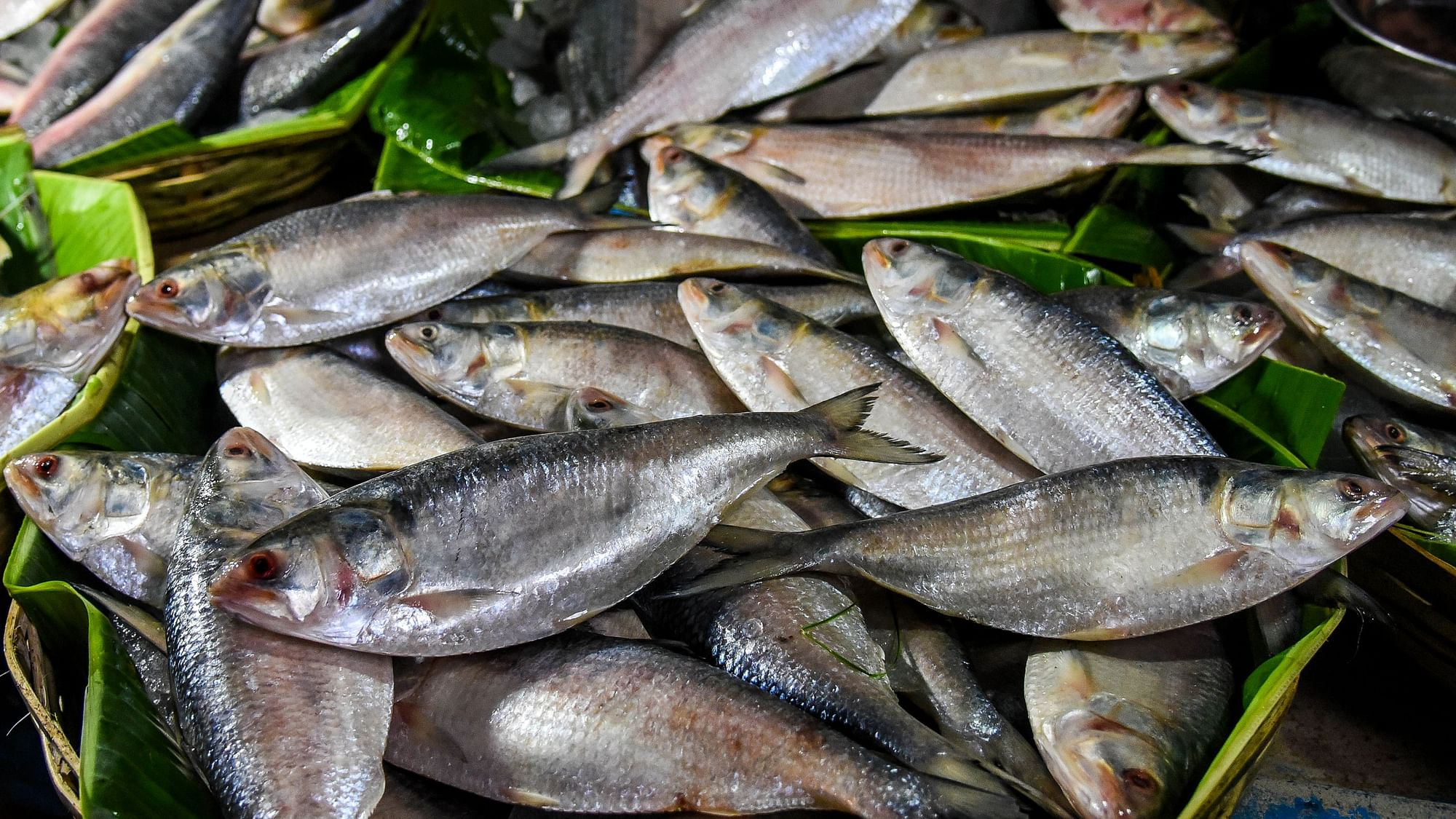Overfishing Drives West Bengal's Hilsa Fishers Up the Creek