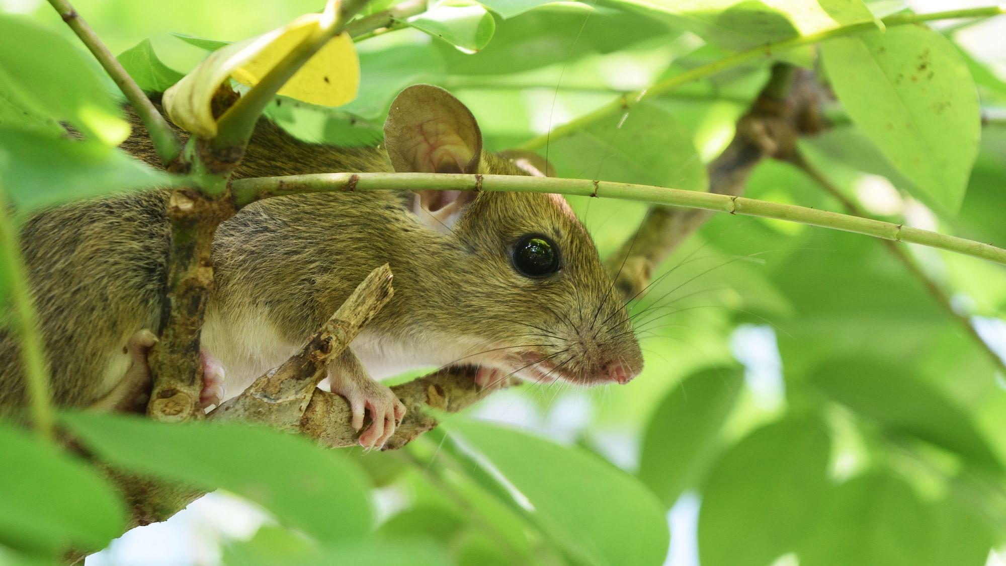 Hantavirus Explained: No Need to Worry Say Experts